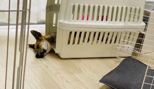 野犬の子犬を迎えて8日目